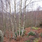 Old coppiced silver birch