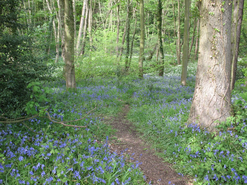 Typical 'bluebell' woodland in spring
