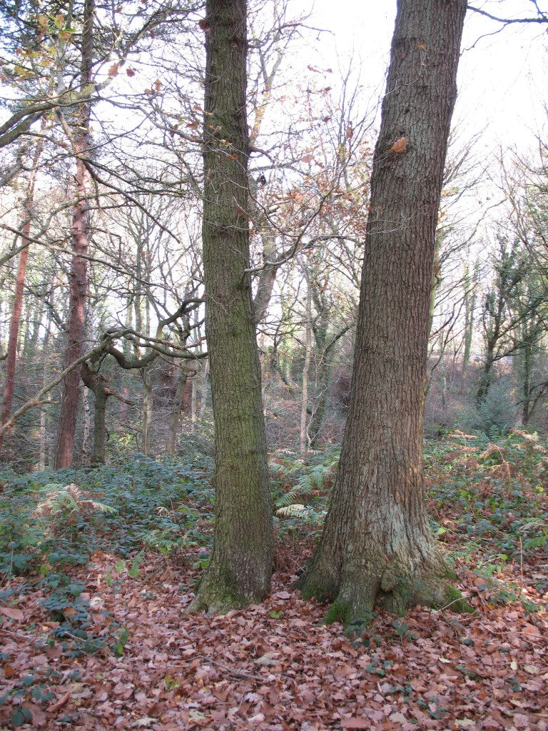 A'stored' coppice stool