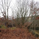 Coppiced Oak